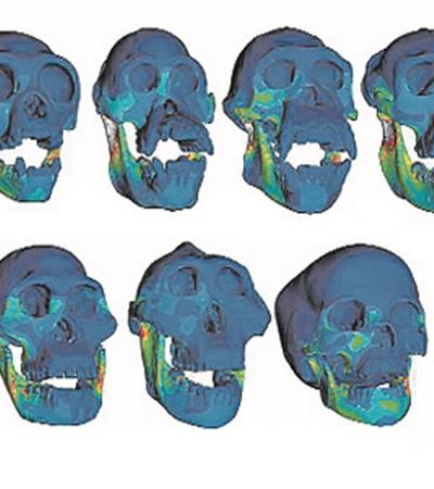Распределение напряжений в костях: чем участок ярче, тем напряжение выше. Люди в этом смысле - самые экономные.  И самые кусачие.