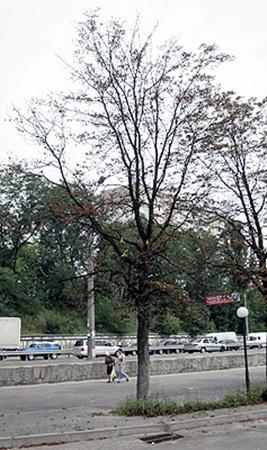 Из-за невыносимой жары деревья осыпаются раньше времени.