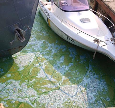 Днепро-Бугской лиман покрылся твердой зеленой коркой водорослей.