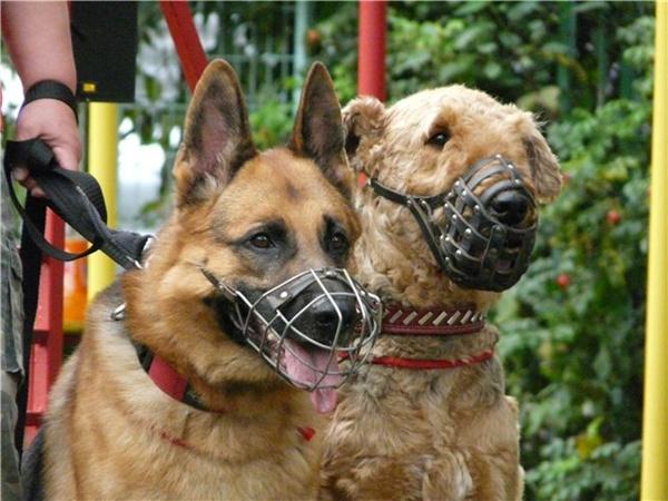 И за отсутствие намордника, и за поведение пса ответственность несет его владелец. Фото с сайта www.airedale.com.ru