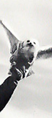 На острове живут белые совы.