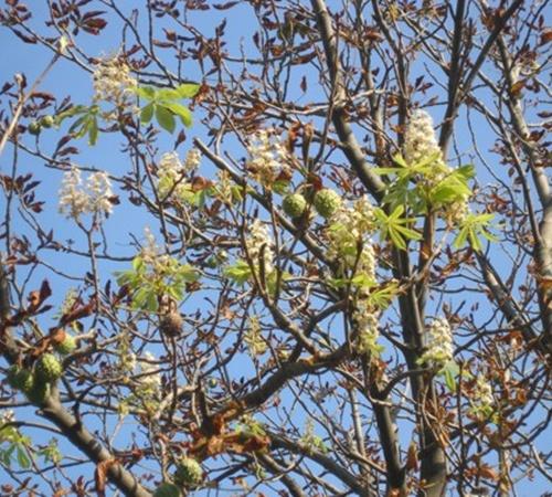 Цветут каштаны и в ялтинском Приморском парке. Фото c сайта kiport.info