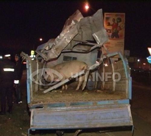 Одна свинья не пережила аварии. Фото с сайта magnolia-tv.