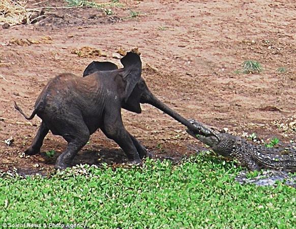 Слоненок боролся за свою жизнь и звал на помощь. Фото с сайта dailymail.co.uk
