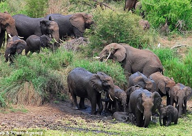 Услышав крик о помощи на подмогу пришли взрослые слоны. Фото с сайта dailymail.co.uk
