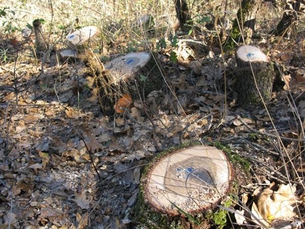 От роскошных дубов остались одни пеньки. Фото пресс-службы Рескомлеса АРК
