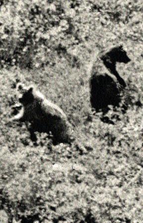 Медведи в гостях.