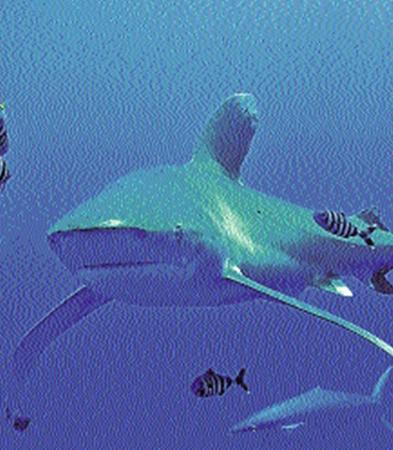Длиннокрылая акула - такой монстр у берегов Египта охотится на пляжников.
