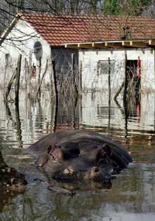 12-летняя самка бегемота по кличке Никица, сбежала из затопленного зоопарка.