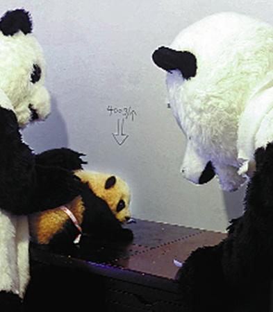 Медвежонку спокойнее, когда его измеряют и взвешивают люди не в белых халатах, а в знакомых шубах.
