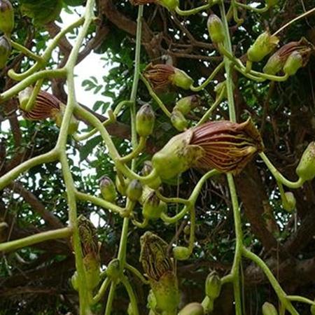 Кигелия африкана. Ее плоды похожи на колбаски. Фото: ru.wikipedia.org