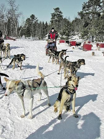 Езда на собачьих упряжках - развлечение для лаек, хаски и экстремальный фитнес для туристов.