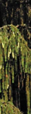 Ветви необычной елки похожи на гирлянды.
