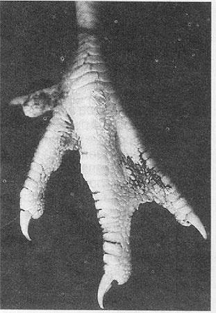 На лапках кур после телепортации генетической информации уток стали расти перепонки.