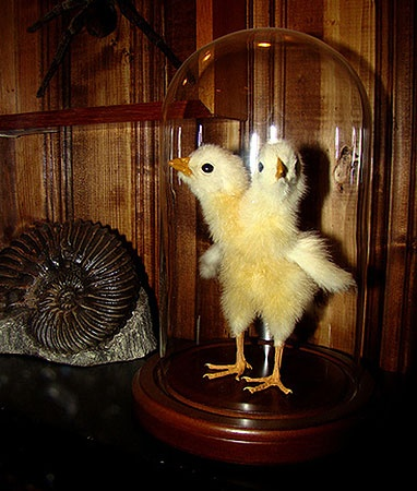 И двухголовые цыплята рождались.