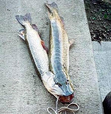 И двухголовые рыбы попадались.
