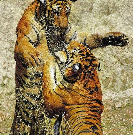 Тигры играют, как кошки. Только удар лапой посильнее.
