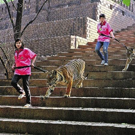 Тигров для прогулки приводят очаровательные служительницы.
