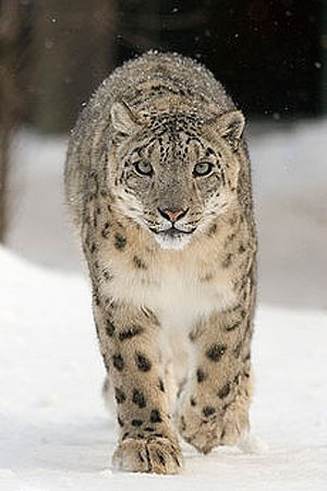 Снежный барс или ирбис. Фото с сайта