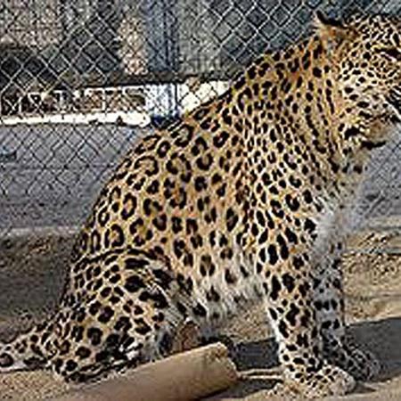 Кавказский леопард. Фото с сайта