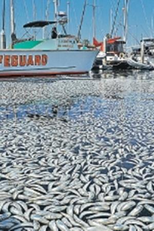 Миллион мертвых рыб в Калифорнии.