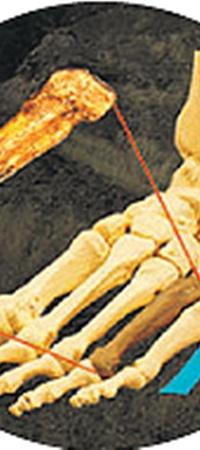 Кости стопы Люси, как у современного человека.