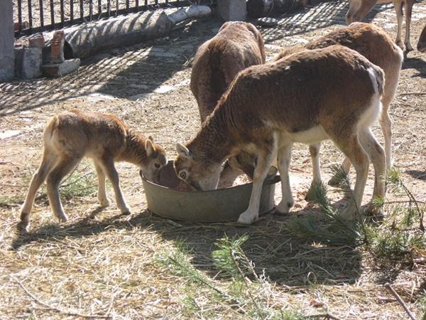 Муфлончики стараются во всем брать пример с мамы. Фото автора и с официального сайта Харьковского зоопарка.