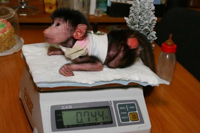 Такой была Софита в декабре. С тех пор она заметно подросла и налегает на еду. Фото автора и с официального сайта Харьковского зоопарка.