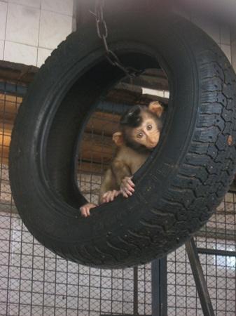 Макака Фрида - энергичная и любопытная. Любит висеть на коселеи наблюдать, как отец общается с посетителями зоопарка. Фото автора и с официального сайта Харьковского зоопарка.