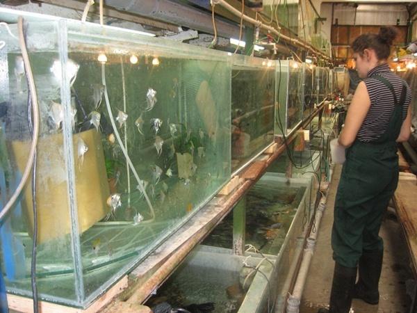 «Ясли» аквариума. Обычных посетителей сюда не пускают - не стоит отвлекать рыб от такого интимного процесса, как размножение. Фото автора и с официального сайта Харьковского зоопарка.