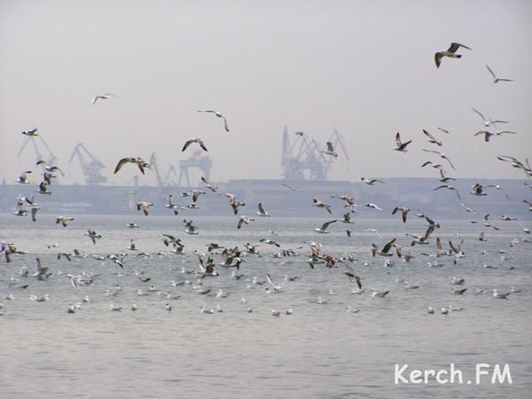 А над берегом кружат чайки-охотницы. Фото kerch.fm