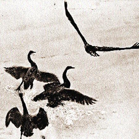 Атака на лебедей.