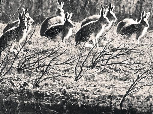 Зайцы на острове.