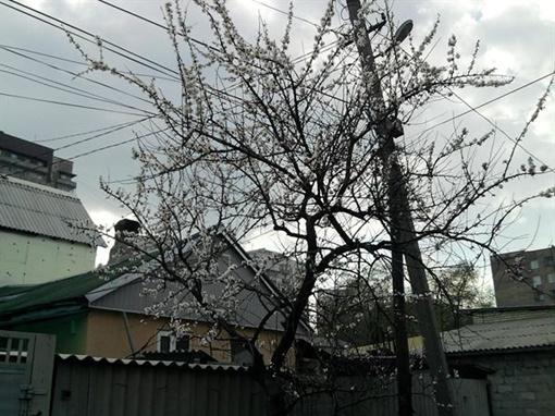 В Донеце зацвели абрикосы. Фото: Юлия Ткаченко.
