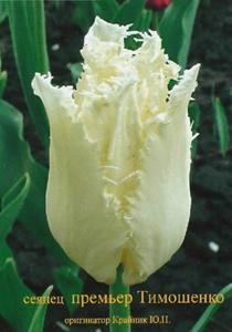 Новый сорт тюльпана. Фото УНИАН