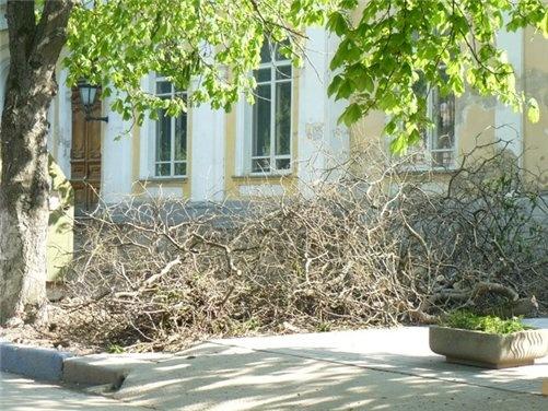 На месте старых деревьев власти города планируют посадить новые. Фото автора.