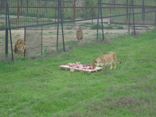 Впервые под прицелом теле- и фотокамер львы вышли на открытую территорию.