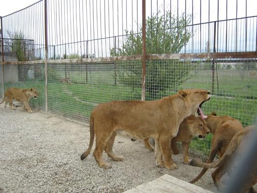 Тигролев появился на свет путем скрещивания льва и тигра. По сравнению с другими хищниками, эти кошки – огромных размеров.