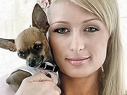 Собачка Тинкербелл стала такой же популярной, как сама Пэрис Хилтон.