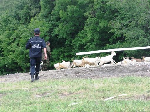 За минуту до начала учений на поле появились непрошенные копытные гости