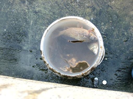 Пока чистили фонтан, рыбешкам пришлось поплавать в ведре. Фото автора.