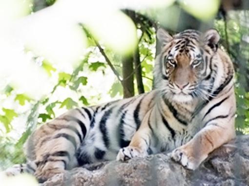 В этом году у амурской тигрицы родился детеныш.