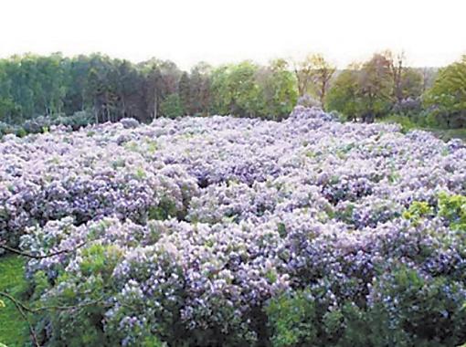 Сиреневая роща в Диканьке занимает 2 гектара.