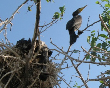 В помете бакланов концентрация аммиака почти в 30 раз больше, чем у других птиц и животных.