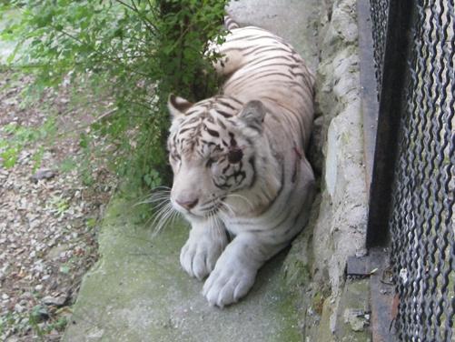 Тигр Француз. Фото предоставлено пресс-службой Зоопарка «Сказка».