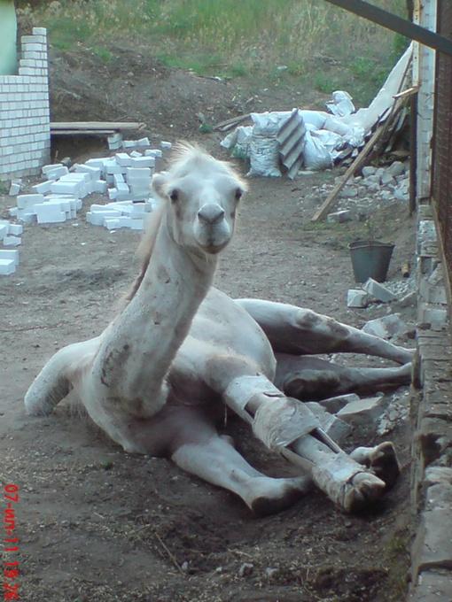 Лишний вес может помешать верблюду подняться.