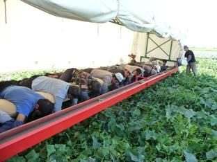 Трактор тянет широченную платформу, а на ней ничком лежат десятка три таджиков