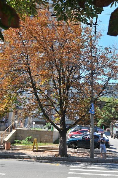 В начале августа дерево уже совсем пожелтело. Фото: Константин Буновский.