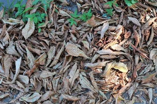 Сначала несчастные деревья покрылись пятнами, а потом и вовсе начали сбрасывать листву. Фото: Константин Буновский.