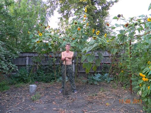 Гиганты подсолнухи выросли в огороде.